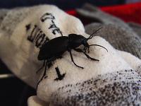 Käfer verliebt sich in eine Socke