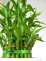 Lucky Bamboo (Glücksbambus)